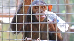 Monkey is drinking bottle of water on cage in zoo Skazka. Stock Footage