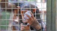 Visitor is filling bottle of water for monkey in zoo Skazka. Stock Footage