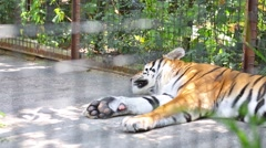 Tiger is sleeping on cage in zoo Skazkain Yalta, Ukraine. Stock Footage