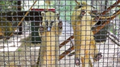 Coatis are taking grass and hanging through cage at zoo Skazka. Stock Footage