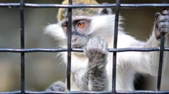 Little monkey is holding on the cage in zoo Skazka. Stock Footage