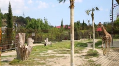 Giraffe is walking in zoo Skazka in Yalta, Ukraine. Stock Footage