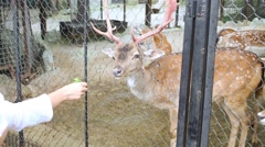 Visitor is feeding deer in zoo Skazka in Yalta. Stock Footage