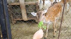 Visitor is feeding doe of deer in zoo Skazka in Yalta. Stock Footage
