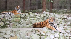 Two tigers are laying on the rocks in zoo Skazka. Stock Footage