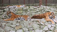 Three tigers are relaxing on the rocks in zoo Skazka. Stock Footage