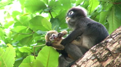 Mother and baby monkey on tree Stock Footage
