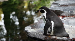 Little penguin sitting near the water Stock Footage