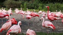 Flamingos Flock Together at he zoo Stock Footage