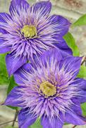 Purple Clematis Flowers Stock Photos