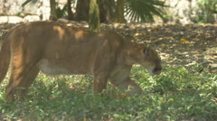 Mountain lion walking in the mountain lion zoo enclosure at Xcaret Park, Mexico Stock Footage