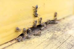 Honey bees are flying in and out of an yellow hive gathering pollen for honey. - stock photo