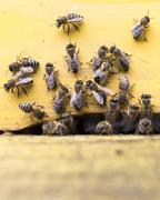 Honey bees are flying in and out of an yellow hive gathering pollen for honey - stock photo