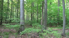Fresh green woodrush beech forest spring season Stock Footage