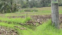 Bali ducks Stock Footage
