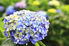 Hydrangea,Big-leaf Hydrangea,Laurustinus blue flowers blooming Stock Photos
