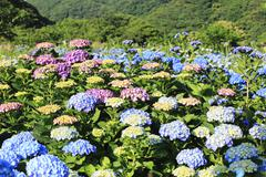 Hydrangea,Big-leaf Hydrangea,Laurustinus purple and blue flowers blooming Stock Photos