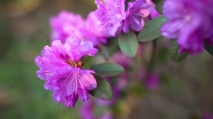 Beautiful Rhododendron Stock Footage