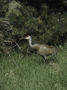 A Sandhill Crane bir (Grus canadensis) stalks through the grass near a pine tree Stock Photos