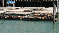 Stock Video Footage of Sea lions on Pier 39