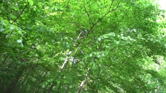 4k Fresh green woodrush beech forest tree top panning Stock Footage