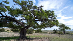 Argan tree morocco nature wild rural sous valley Stock Footage