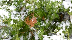 Snow falling on green and brown thuja tree branch in winter Stock Footage