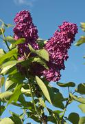Spring Lilacs Syringa - stock photo