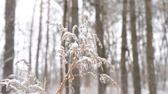 Solidago. Snow falling on beautiful dry wizened goldenrod flower - stock footage