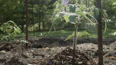 Organic garden, tomato plant in sunshine dolly shot Stock Footage