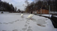 Two black necked swans on frozen lake in a public park Stock Footage