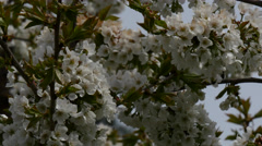 Cherrytree with white flowers Stock Footage