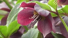 Beautiful Purple Lenten Rose Flower Close up in Spring Stock Footage