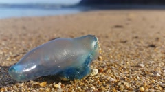The Portuguese man o' war Bluebottle jellyfish on beach. Stock Footage