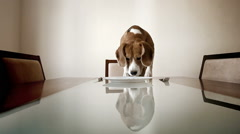 Dog waiting for a dinner to be served sitting at the table Stock Footage