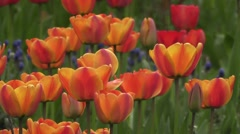 Stunning Tulip Flowers Red and Orange Colours Drifting in the Winds Stock Footage
