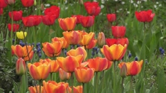 Magnificent Bright Red and Orange Tulip Flowers Blooming in Spring Sunshine Stock Footage