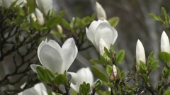 Brilliant White Magnolia Tree Flowers Blooming in Spring Stock Footage
