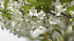 Beautiful Pure White Blossom Flowers of Japanese Peace Cherry Stock Footage