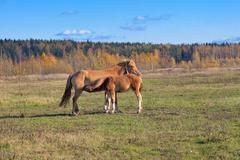 Newborn foal suckling Stock Photos