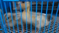 A few very cute little duck, unfortunately kept in the cage Stock Footage