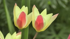 Close up Pair of Tulip Flowers Blowing in Spring Breeze Stock Footage
