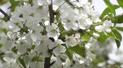 Pure White Japanese Cherry Blossom Flowers Symbol of Fertility and Life Stock Footage