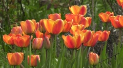 Mass Tall Orange Red Spring Tulip Flowers Blowing in the Wind Stock Footage