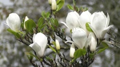 Stock Video Footage of Stunning White Magnolia Tree Flowers symbol of Innocence and Purity
