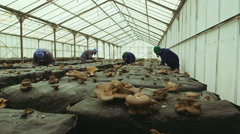 Workers gather mushrooms in the farm Stock Footage