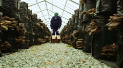 Workers gather oyster mushrooms in the farm Stock Footage