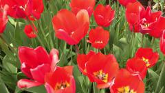 4k Tulips with the tree and blue sky in background, closeup. UHD crane shot  Stock Footage