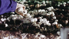 Worker's hand gathers mushrooms on the farm - stock footage