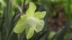 Stunning Close up Rain Soaked Spring Easter Daffodil Flowerin Sunshine - stock footage